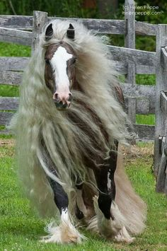 Oh my goodness...need a full time groomer for that mane and tail! :)