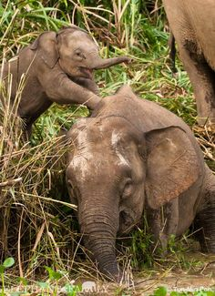 How cute! Such a wonderful, joyous time they're having. We humans can learn alot from this :) Elephant Walk, Asian Elephant, Elephant Love, Giraffe, Elephant Family, Mama Elephant, Elephants Never Forget, Save The Elephants, Baby Animals