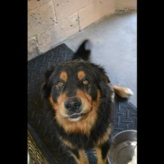 UNION - ID# C14-014221 Adult Male Bernese Mountain - Heartworm Positive - D# C14-014221 Adult Male Bernese Mountain Dog   Mix Very Friendly, seems great around other dogs. Union County SC   Animal Shelter 1647 Jonesville Hwy. Union SC
