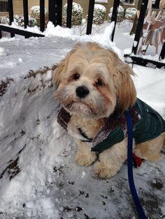 Milo the Lhasa apso puppy