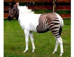 Zorse (zebra horse hybrid)