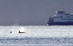 Orcas have returned to Puget Sound, and they've never faced a bigger menace