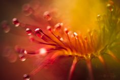 http://www.photographyserved.com/gallery/Drosera/19266199