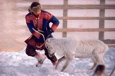 Young Sami Nils Peter checks a reindeer before the migration. Kautokeino. Sapmi. North Norway.