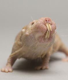 NAKED MOLE RAT - From the tropical grasslands of East Africa, southern Ethiopa, Kenya and Somalia. A colony of naked mole rats can consist of 20-300 individuals. Their underground territory can be as large as six football fields.