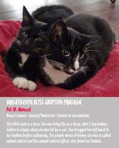 Tuxies are stunning!    Tomorrow is National Black Cat Day. What's up with that? Does it seem to you that there are about seven days each ...Tuxie Momma Kat, only two years old is waiting for a family to open their heart and home for her. Please share, she is very courageous.