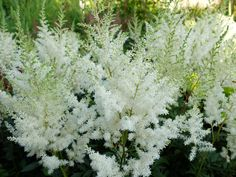 Астильба белая высота 45/60 см, цветет в июле. Цветы душистые. Соцветия пушистые. Листва темно-зеленая, с блеском.