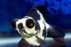 Panda telescope goldfish... i need one!
