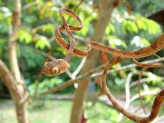 Serpente ocidental arborícola (Imantodes lentiferus), encontrada em Honduras, Nicarágua, Costa Rica, Panamá, Colômbia e Equador.