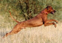 Ridgeback has a strong character, expressive with a stately manner. Ridgebacks are not noisy dogs, but they have a deep resounding bark and they use it when something needs to be investigated. They warn you if something is not right, but if you're welcoming guests in the house, they take your lead.