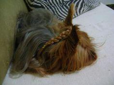 Tranca Yorkshire terrier Cléo