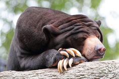 I want to live in a world where there's always time for a nap, (photograph by Steve Javorsky) Black Bear, Brown Bear, Malayan Sun Bear, Animal Pictures, Bear Pictures, Funny Animals, Cute Animals, Sloth Bear, Cute Sun