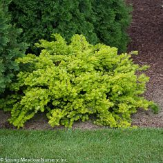 Looking for something to fill the shady space between taller trees (and bushes) and low growing perennials? See our list of 10 bushes to plant under trees.