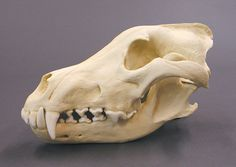 wolf skull - Google Search