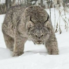 Canada lynx - Wild Beast The Canada lynx has very thick, light brown or gray fur with light black spots. It has large ears with long black tufts at the ends. Its tail is short with a black tip at the end.  Lynx live deep in coniferous forests near rocky areas, bogs and swamps.   #adult #alaska #amazing #america #animal #animals #arctic #areas #average #beast #birds #birth #black #bogs #branch #brown #buff #canada #canada lynx #caribou #carrion #cat #check #cheek #chillin
