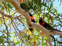 Parrots in my gum tree