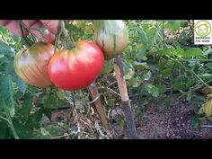 ΚΑΛΟΚΑΙΡΙΝΑ ΛΑΧΑΝΙΚΑ 2017 : ΝΤΟΜΑΤΕΣ - YouTube Vegetables, Garden, Food, Youtube, Meal, Garten, Essen, Vegetable Recipes, Hoods