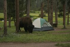 Norris Campground (Yellowstone National Park, WY) - Campground Reviews - TripAdvisor