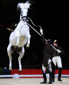 Crazy horses: The school's first chief rider, Wolfgang Eder (left), and Rudolf Rostek concentrate as Pluto Malina leaps into the air Majestic Horse, Beautiful Horses, Spanish Riding School Vienna, Lippizaner, Lipizzan, Horse Tail, White Horses, Horse Photography, Dressage