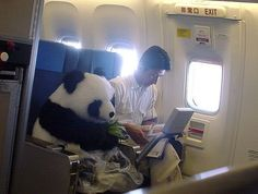 Whatcha doing panda? Oh nothing....just eating my bamboo on an airplane !!!