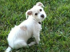 """This is a MalteJack or Jacktese!  Its a Maltese Jack Russell Mix.  I found one at my local shelter today and hope to adopt it!!  Totally adorable.  Will be about 8lbs. And 10"""" Tall.  I never knew they existed!  I guess its a popular mix. Thie one I saw looks just like this!"""