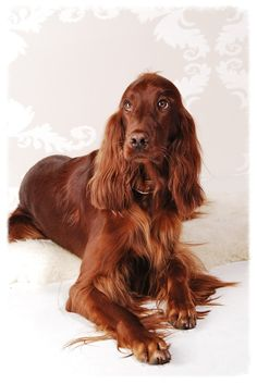Classic Irish Setter look. Who can resist those eyes?!?
