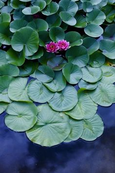 Water Garden, Lawn And Garden, Lotus Flower Pictures, Lotus Pond, Lotus Leaves, Pink Lotus, Water Flowers, Lotus Flowers, Lily Pond
