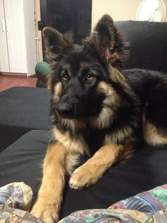 Long Haired German Shepherd                                                                                                                                                                                 More