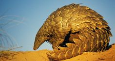 Ground Pangolin in Kgalagadi Transfrontier Park, South Africa (© age fotostock/Photolibrary)