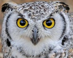 Great Horned Owl - the eyes have it.