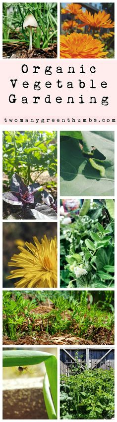 Ever wonder how people grow such great organic gardens? Come check out a few tips that will give you a head start! http://www.twomanygreenthumbs.com/organic-vegetable-gardening/