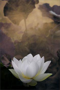 White Lotus Flower Surreal Series: DD0A7201-1000   Flickr - Fotosharing!