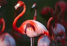 En Estados Unidos hay más flamingos de plástico que de carne y hueso.