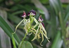FACTOID: the Black orchid, Belize's national flower, Is only about as big as your finger tip. Elegance incarnate.