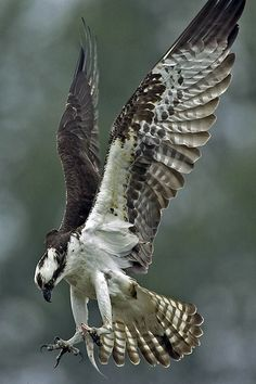 Osprey with snack | A male Osprey delivering a meal to his mate who is tending the nest.