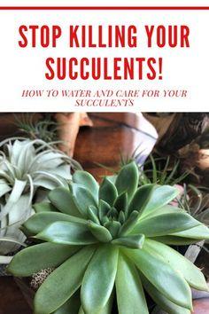How To Water Succulents, Succulent Gardening, Succulent Care, Succulent Terrarium, Succulents Garden, Garden Plants, Planting Flowers, Indoor Gardening, Watering Succulents