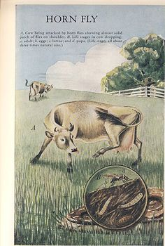 Once again we have to go back in time. Cattle in the wild would have had as much parasite resistance as present day wild animals, which made their existence possible. What we have done in the moder...
