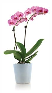 Top 10 ways to prolong the life of your Just Add Ice Orchid so your orchid continues to add color to your life. Orchid Pot, Moth Orchid, Phalaenopsis Orchid Care, Money Trees, Purple Orchids, Local Florist, Flower Decorations, Indoor Plants, House Plants