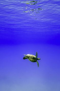 The big, deep, blue ocean and the little turtle   Glide by Eric Esterle