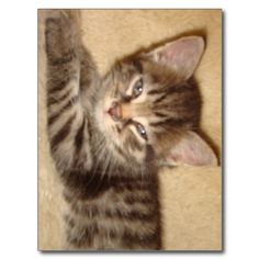 Kitten with Attitude Post Cards