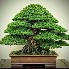 Here are the Bonsai Trees Ideas For Indoor Garden. This post about Bonsai Trees Ideas For Indoor Garden was posted under the category by our team at February 2019 at pm. Hope you enjoy it and don't forget . Buy Bonsai Tree, Flowering Bonsai Tree, Pine Bonsai, Bonsai Tree Care, Bonsai Tree Types, Bonsai Trees, Juniper Bonsai, Indoor Bonsai Tree, Indoor Trees