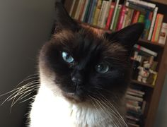Miss Cocoa, the imperious and ever-judging Tonkinese. She is still a lovable lump though! Tonkinese Cat, Cute Animals, Fluffy Animals, Siamese, Animal Photography, Tumblr, Cuddling, Cute Cats, Cocoa