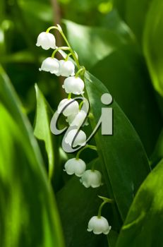 Blooming Lily of the valley flowers closeup