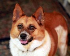 Jack/Foster is an adoptable Australian Cattle Dog (Blue Heeler) Dog in Rockville, MD.  Jack/Foster is a 5 year old (as of December 2012) male neutered Australian cattle dog and Welsh corgi mix. He tr...