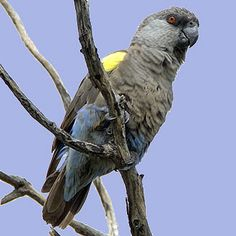 The Rüppell's parrot (Poicephalus rueppellii) is near endemic to Namibia, occurring in habitats ranging from riparian woodland to Acacia as well as palm tree stands. Its diet varies according to time of year, eating a range of plants and occasionally insects.