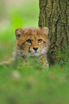 beautiful-wildlife: Cheetah Cub by Rob Janné Beautiful Cats, Animals Beautiful, Big Cats, Cats And Kittens, Baby Cheetahs, Cheetah Cubs, Gato Grande, Ocelot, Mundo Animal