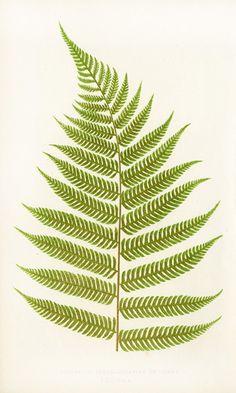 Lowe Antique Prints of Ferns 1856