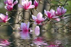 Flowers on a blooming Japanese Magnolia tree reflected in the water