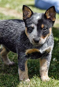 Blue Heeler cuteness. My next puppy...