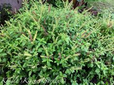 Tips on how to grow strong, bushy and healthy tulsi a holy basil. Herbs, Basil Plant, Tiny Plants, Grow Strong, Buy Seeds, Tulsi Plant, Plant Care, Planting Herbs, Gardening Tips